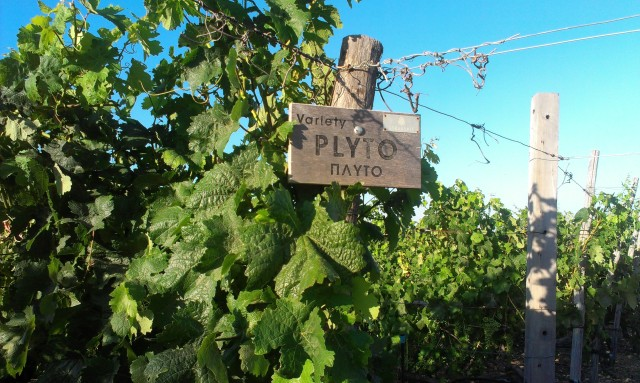 Ze hebben verschillende soorten druiven, waaronder deze PLYTO